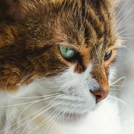portrait of a brown-white cat with blue eyes