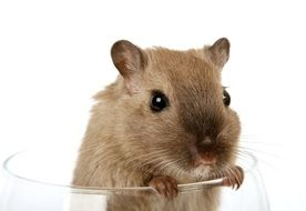 cute domestic mouse in the glass