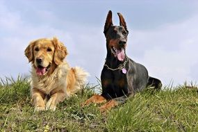 doberman and golden retriever on the meadow