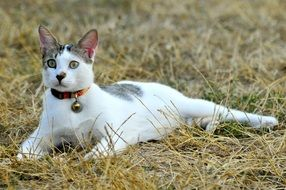 white domestic Cat on grass