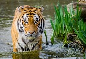 striped tiger in water