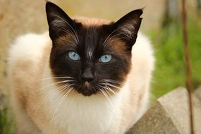 portrait of a siamese cat outdoor