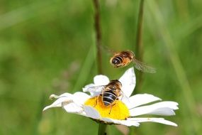 two bees on a daisy close up