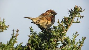 sparrow on an evergreen plant in a national park in Cyprus