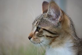 profile portrait of a domestic cat