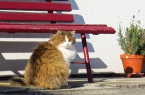 fluffy domestic cat near a red bench