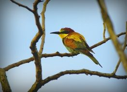 european bee-eater on a branch