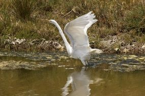 great egret in wildlife