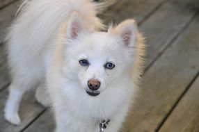 white fluffy pomeranian dog