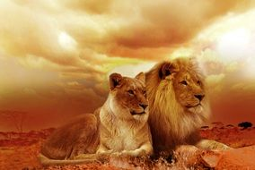 pair of Lions lay on ground at sunset, collage