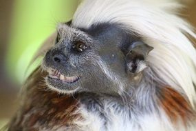 funny portrait of a monkey with iroquoi