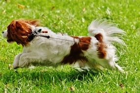 Cavalier King Charles Spaniel playing on green grass