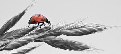 bright ladybug on a grey spikelet