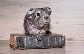 gray guinea pig sits on an old book