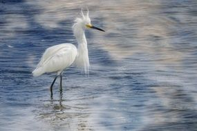 graceful snow egret in water