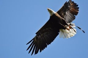soaring bald eagle in the wildpark poing
