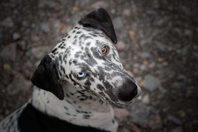 Dog with blue and brown Eyes