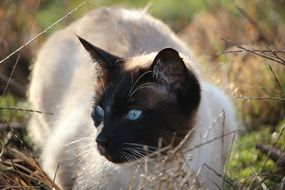 siamese cat with light blue eyes