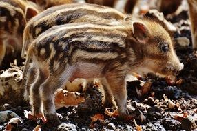 young wild piglets in the wildpark poing