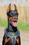 beautiful dog Doberman with his tongue hanging out