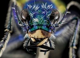 Macro photo of the festive tiger beetle