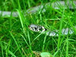 snake among green grass