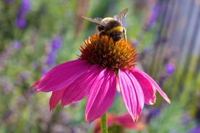bee pollinating echinacea flower