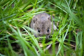 little gray mouse among green grass