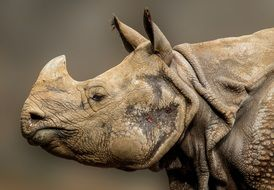 perfect beautiful Rhino Horn