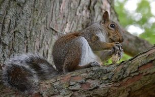 Squirrel eats nut on tree