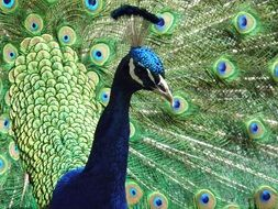 portrait of a bright peacock