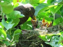 bird feeding Chicks