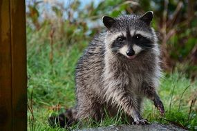 cute Raccoon on grass looking straight