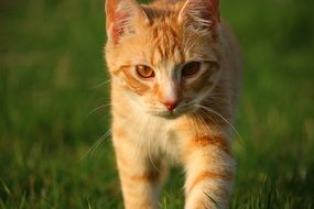 walking red tabby cat