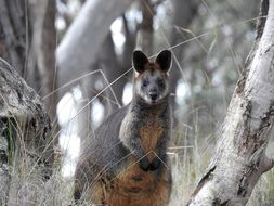 swamp wallaby in wildlife