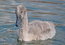 gray chick of a swan on a lake close up