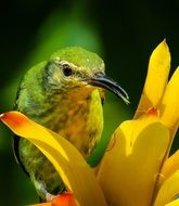 Bird Honeycreeper
