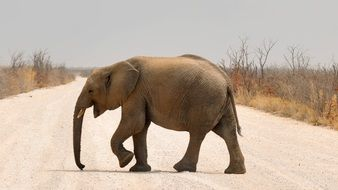 elephant on the road in namibia