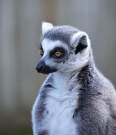 portrait of a cute ring tailed lemur