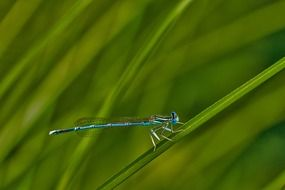 blue dragonfly on swamp grass