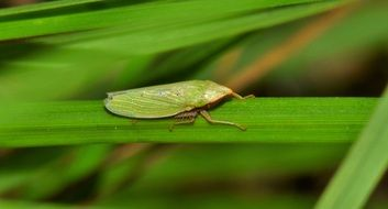 Leaf Hopper Insect