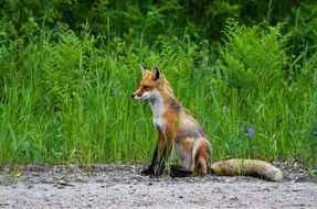 wild red fox in Canada