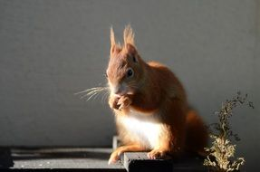 cute red Squirrel eating in cage