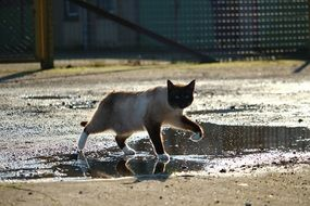 siamese cat walking on puddles