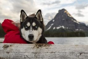 beautiful husky on a background of snowy mountains