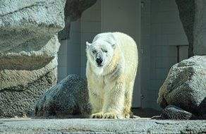 white polar bear in a zoo