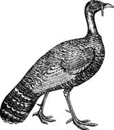 Bird Fowl Turkey drawing