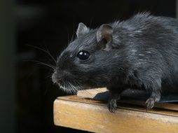black domestic hamster