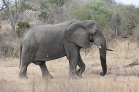 South Africa Elephant