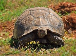 brown Turtle in wild, south africa